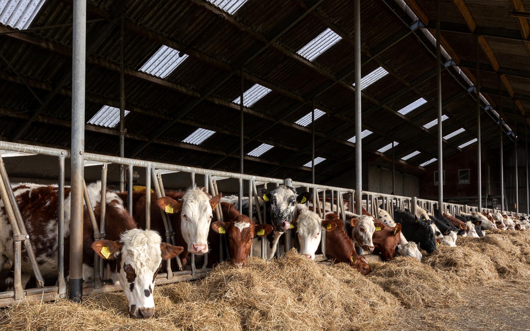 onze dames de koeien in de stal
